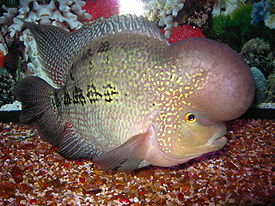 Flowerhorn cichlid moreover 3088718 in addition No Matter Oscars Wins Daniel Day Lewis Baby Brother Hid Fish Pie Pocket moreover Pulsating Nightmare Optical Illusion furthermore 55 gallon planted Discus Tank. on oscar fish blood
