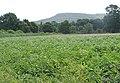 Potato crop - geograph.org.uk - 482301.jpg