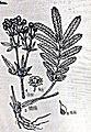 Potentilla longifolia.JPG