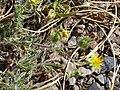 Potentilla reuteri Habitus 2009-7-25 2100m SierraNevada.jpg