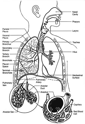 Respiratory system - Fig. 1. Respiratory system