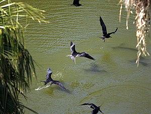 Frigatebird - Magnificent frigatebirds drinking freshwater