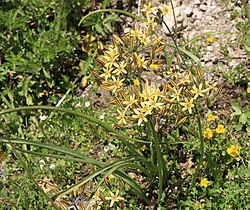 Pretty face Triteleia ixioides ssp anilina plant.jpg