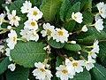 Primula vulgaris-1.JPG