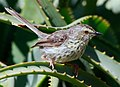 Prinia maculosa -Kirstenbosch National Botanical Garden, Cape Town, South Africa-8.jpg