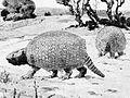 Propalaeohoplophorus australis 1913.jpg