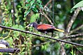 Psarocolius montezuma -Costa Rica-8.jpg