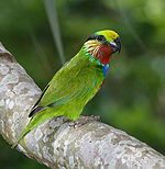 Green parrot with blue, light blue, red, and yellow head markings