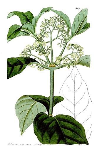 Psychotria - Image: Psychotria elliptica
