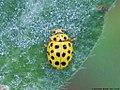 Psyllobora vigintiduopunctata 06.JPG