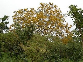 <i>Pterocarpus erinaceus</i> species of plant
