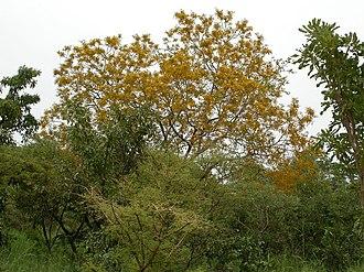 Pterocarpus erinaceus - Image: Pterocarpus erinaceus MS 4178