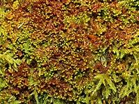 Ptilidium pulcherrimum.jpeg