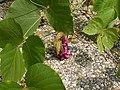 Pueraria montana lobata (5182514722).jpg