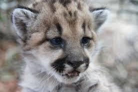 Puma cub Malibu Springs area National Park Service December 2013