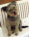 Pumi dog sitting on a white bench.jpg