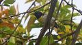 Purple-rumped Sunbird (Leptocoma zeylonica) at Madhurawada 01.jpg