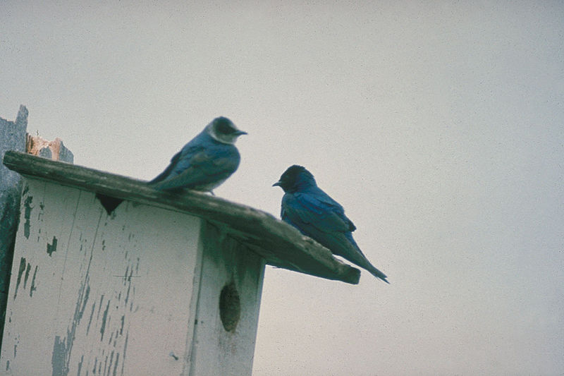 File:Purple Martins Oregon.jpg