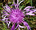 Purple flower in a hedgerow (6318892730).jpg
