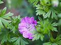 Purple geranium (9071748644).jpg