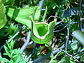 Purple pitcher plant (Tower Lake) 1.JPG