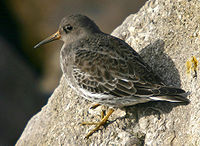 Purple sandpiper New Brighton.jpg
