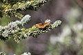 Purplish Fritillary (4862352096).jpg