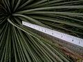 Puya raimondii.jpg