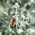 Pyronia tithonus (Buskgräsfjäril) på Gråmynta. Mentha longifolia -1308 - Flickr - Ragnhild & Neil Crawford.jpg