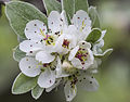 Pyrus elaeagrifolia - Yaban armudu 01.jpg