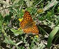 Queen of Spain Fritillary. Issoria lathonia - Flickr - gailhampshire (1).jpg
