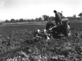 Queensland State Archives 1676 Potato digger harvesting Sebago potato crop 100120 bags to acre c1951.png