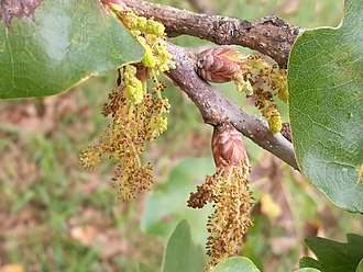 Oak - Oak: male flowers