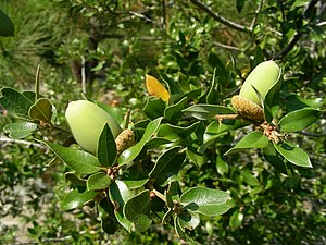 Quercus chrysolepis - Leaves and acorns