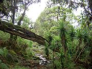 The montane forest around Mount Kenya is full of a variety of species