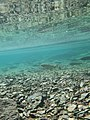 Rainbow Trout underwater - panoramio.jpg