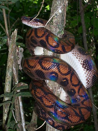Snake scale - Rainbow boas get their name from the coloration of their scales caused by iridescence.