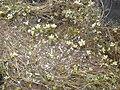 Ranunculus ololeucos, Circo de Gredos, Spain - 20080604-03.jpg