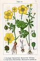 Ranunculus spp Sturm51.jpg