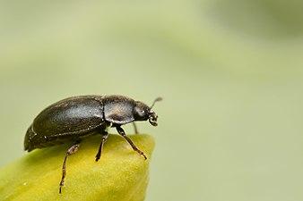 Rapeseed pollen beetle (31103672154).jpg