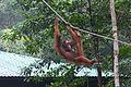 Rapid transit system for Orangutans (26626916361).jpg