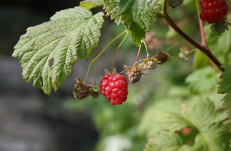 File:Raspberries ripening.jpg