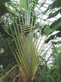 Ravenala madagascariensis plantae 1.png