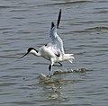 Recurvirostra avosetta departure.jpg