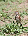 Red-capped lark, Calandrella cinerea, at Mapungubwe National Park, Limpopo, South Africa (24142906165).jpg