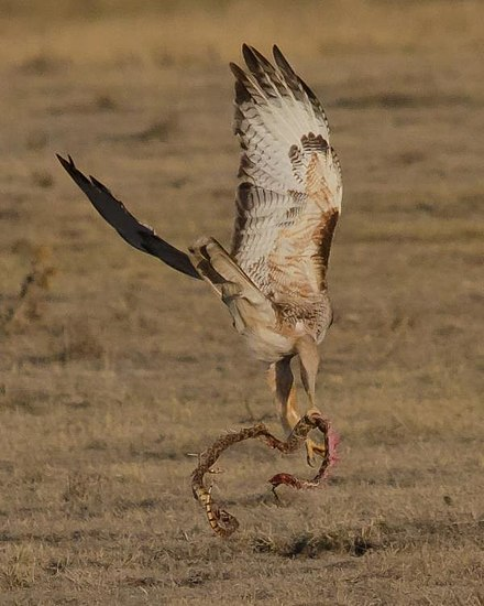 A red-tailed hawk flies off with its kill, a large colubrid snake Red-tailed Hawk Grabs Breakfast (7537056170).jpg