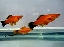 Red Aquarium Fish.JPG