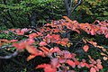 Red Leaves Over The Forest (29989181).jpeg