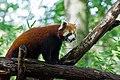 Red Panda (37469328842).jpg