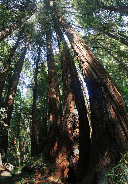 File:Redwood trees in Muir Woods National Monument, just outside San Francisco, California.jpg